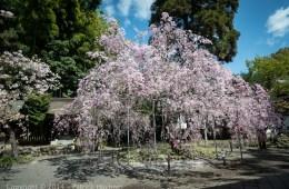 The cherries at the Hirano Shrine, Kyoto