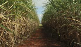 Plantação de cana-de-açúcar, usada para produzir açúcar e etanol