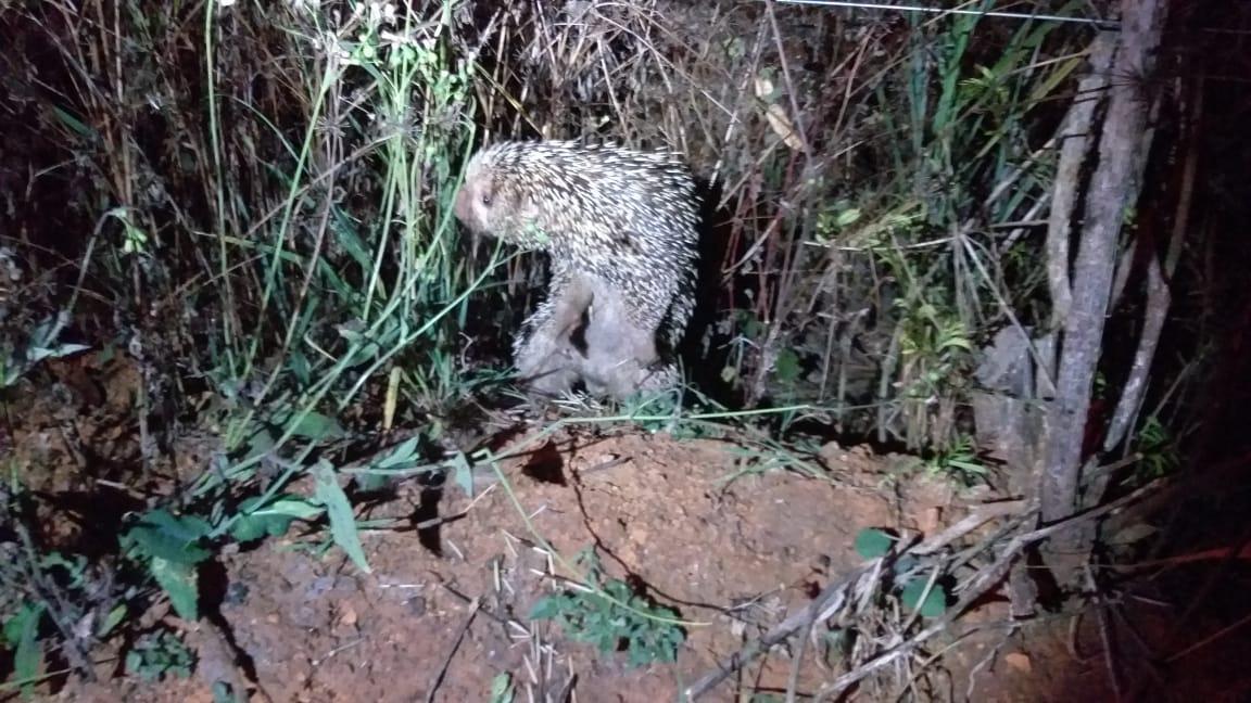 Coruja e ouriço são capturados e reintroduzidos na natureza em Patos de Minas