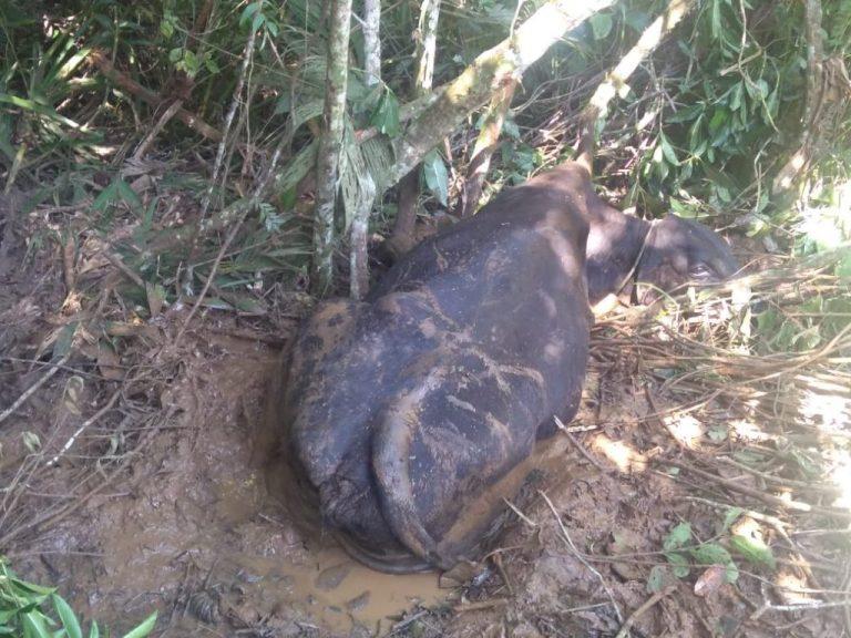 Vaca atolada é resgatada pelos Bombeiros em Araguari