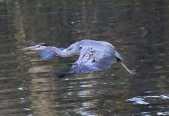 Flying Heron