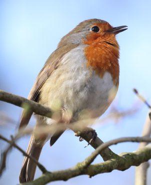 Singing robin