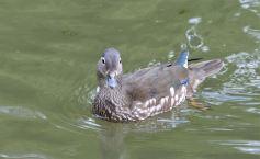 Female Mandarin Duck