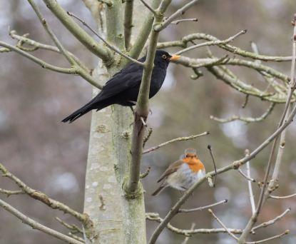 Blackbird & Robin