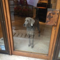 Weimaraner in Window.