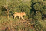 The next morning we saw lions!