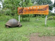 Checking out the Galapagos Tortoises on the ranch.