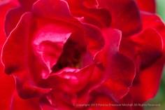 Tamango_Rose,_5.11.15
