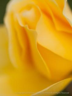 Unsharp-_Yellow_Rose,_11.18.14