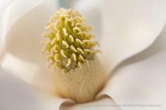 White_Magnolia,_7.2.15