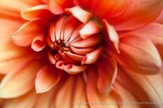 Orange_Dahlia,_8.11.15