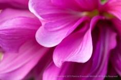 Pink_Dahlia_Petal_Waves,_7.5.15