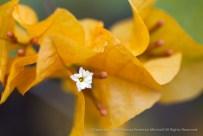 Gold_Bougainvillea,_7.13.15