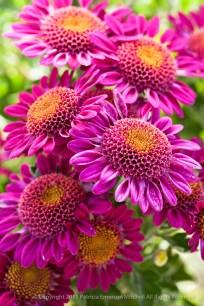 Pink_Chrysanthemum_Bouquet (I),_10.14.15