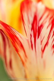 Filoli-_Red_&_Yellow_Tulip_Detail_(II),_3.20.14