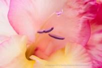 Multi-Colored_Gladiolus,_6.2.15