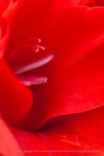 Red_Gladiolus_(II),_6.10.13