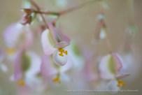 Begonia Cachuma (I), 4.17.15