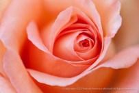 Salmon Rose, 11.17.15