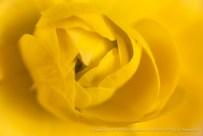 Yellow Ranunculus, 2.9.15