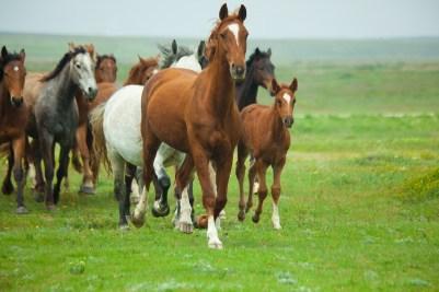 bigstock-horses-running-19489697