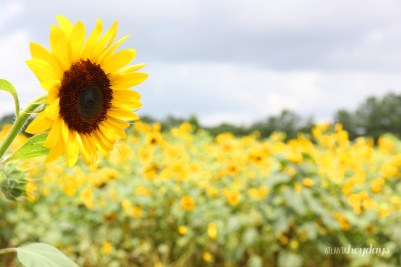 Stand in a field of sunflowers