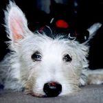puppy_in_a_tam-o-shanter