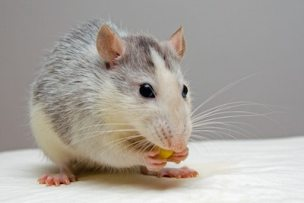 Photo of a rat eating something.