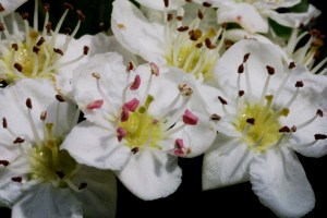 Weißdorn,_Zweigriffliger,_Crataegus_oxyacantha_2004-05-30_JO