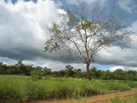 tree-rupununi
