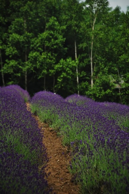 Lavender in Furano, at Farm Tomita (photo by Patrick Colgan, 2011)