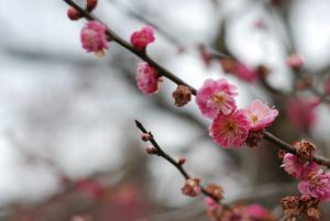 Japan, plum blossoms in Mito