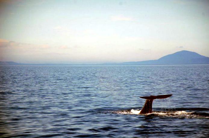 Sperm whale in Shiretoko