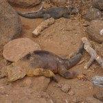 MandF-iguanas