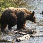 bear-in-stream-2-web