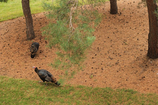 Wild turkeys on BU campus