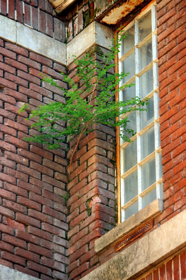 A tree growing in the brick wall