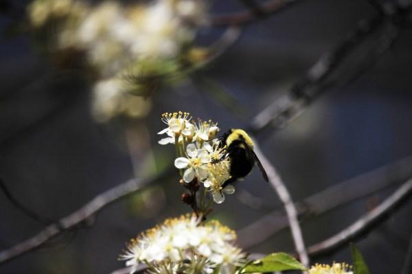 A bee, hard at work