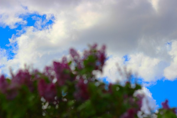 Blurred lilacs with the sky in focus
