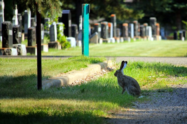 A rabbit at the cemetery