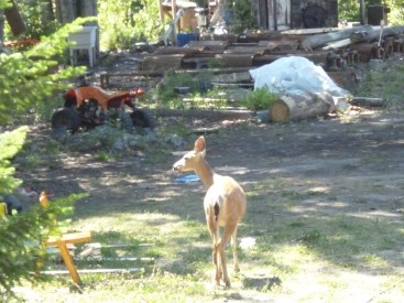 This deer slept on the sandpile most of the summer, and would reluctantly leave each morning when I showed up to work.