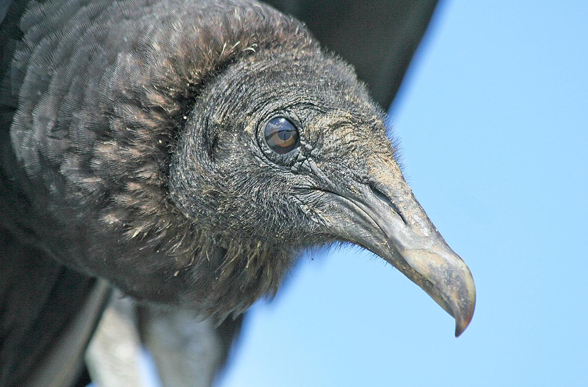 Black Vulture, Cape Canaveral National Seashore, Merritt Island, FL. ©Patrick J. Lynch, 2017. All rights reserved.