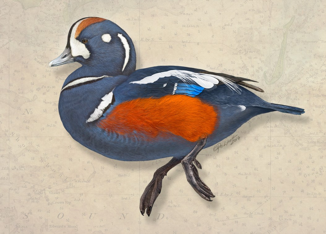 Harlequin Duck. Photoshop. ©Patrick J. Lynch, 2017. All rights reserved.