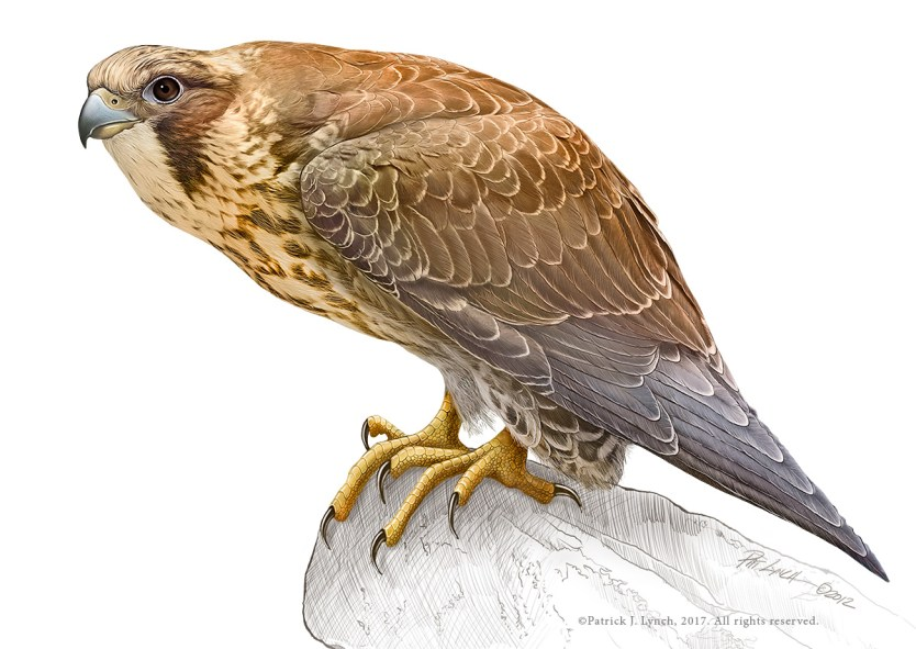 Immature Peregrine Falcon. Photoshop. ©Patrick J. Lynch, 2017. All rights reserved.