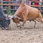 The law and grace showing a bull fight