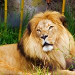 righteous as bold as a lion showing an african lion