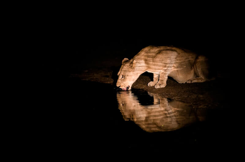 As in water face answereth unto face showing a lioness drinking water