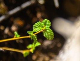 feuilles-treflees
