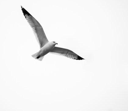goéland vole (1 sur 1)
