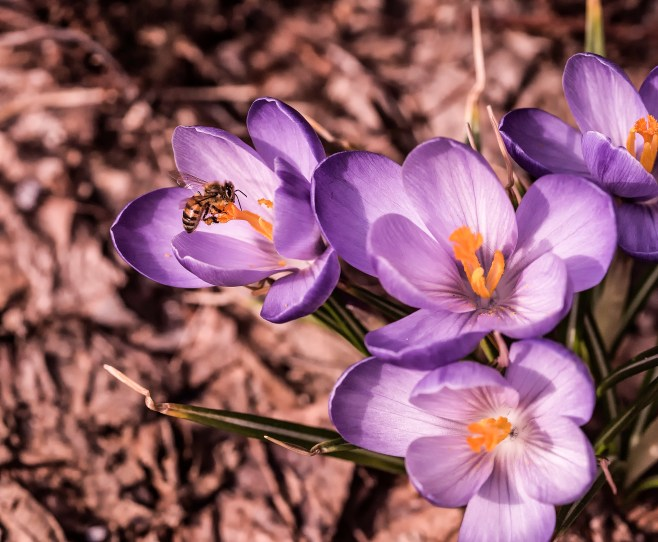abeille du printemps2 (1 sur 1)